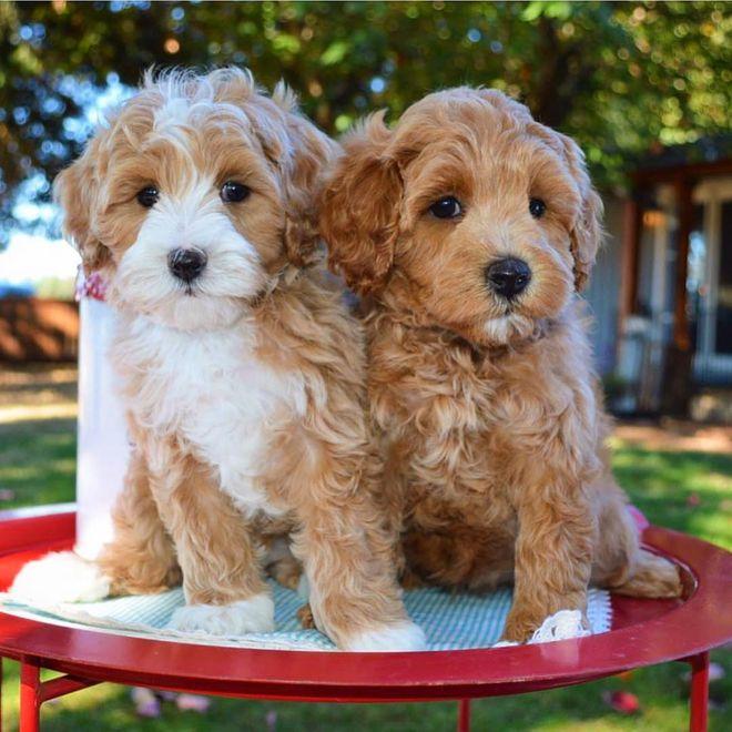 ¿Qué nuevas razas de perro triunfan?