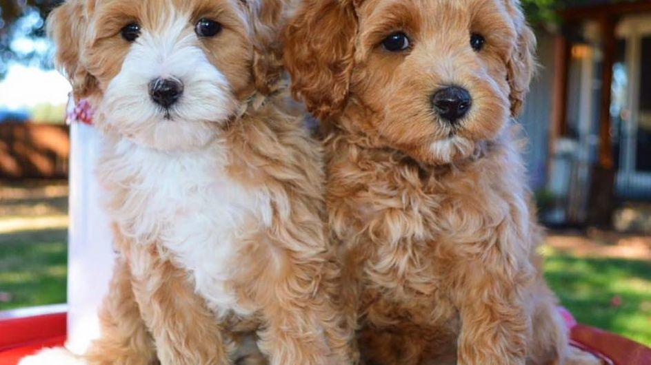 Nuevos cruces de perros que se están haciendo famosos