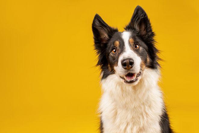 Quelles races de chiens sont particulièrement intelligentes ?