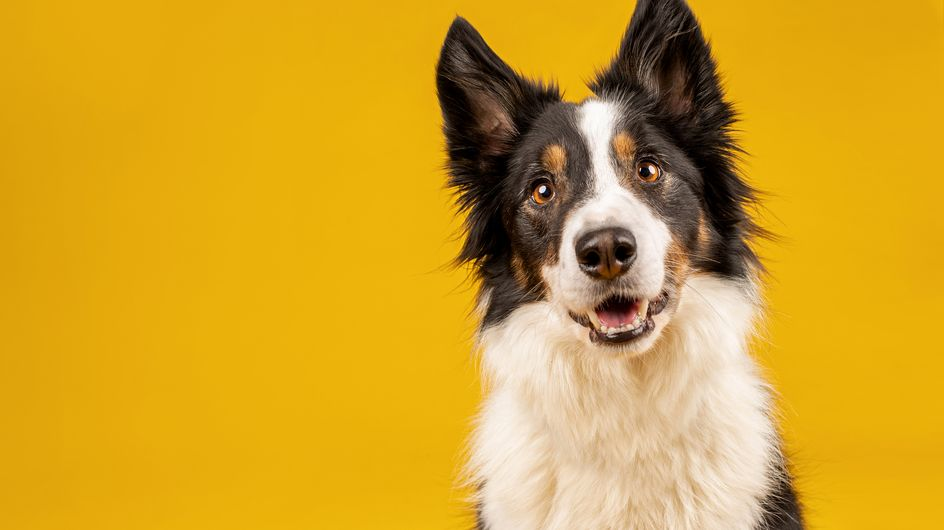 Votre chien fait-il partie des races les plus intelligentes ?