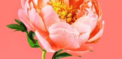 Rose oder Rittersporn: Kennst du schon deine Geburtsblume?