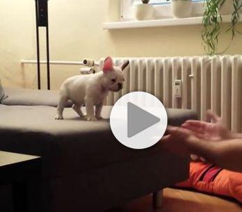 Ce chiot qui saute de son canapé nous fait carrément craquer
