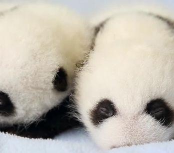 100 días en 2 minutos: el increíble desarrollo de estos dos pandas