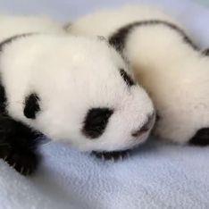 Panda gemelli: i primi 100 giorni in 2 minuti