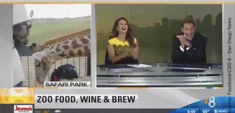 ¡Esta jirafa intenta ligar con una reportera!