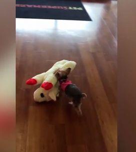 A cachorrinha escolhe o seu brinquedo e leva ela mesma, fofa