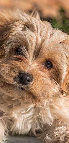 Del Cavapochon al Ridgeback, 30 razas de perro que ni conocías ni sabrás pronunciar