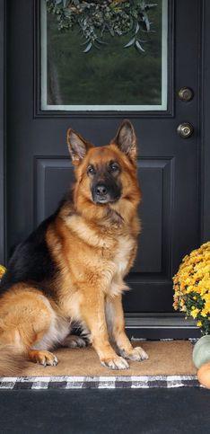 Beste Wachhunde: Diese Rassen eigenen sich als Schutzhunde