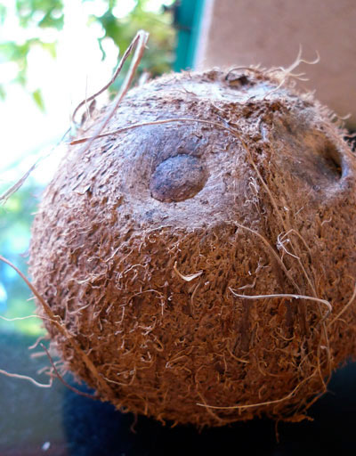 Lait de coco : comment ouvrir une noix de coco