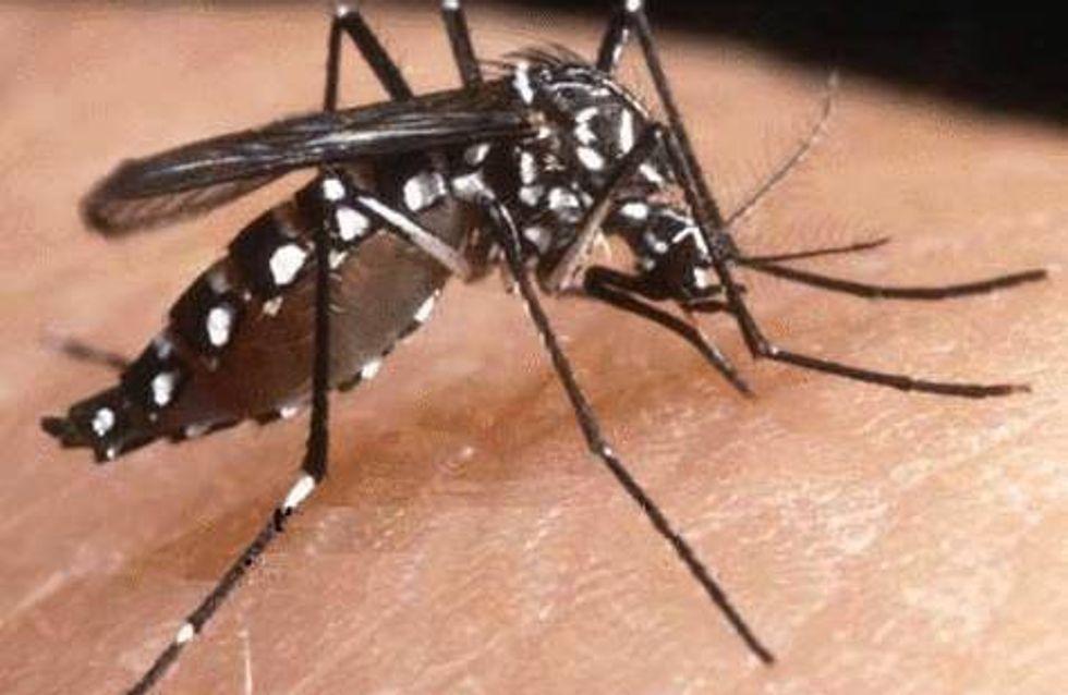 Chikungunya : Le moustique tigre menace le Sud de la France