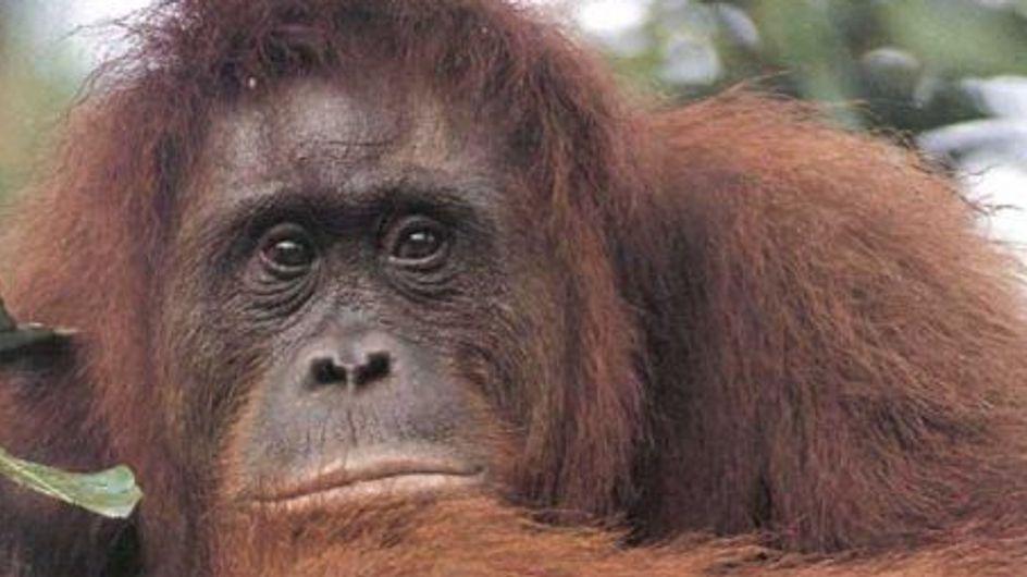 Apple : Des orangs-outans pros de l'Ipad !