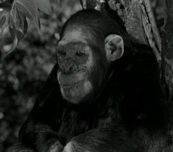 Cinéma : Le singe Cheetah est mort