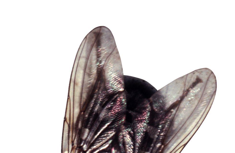Des scientifiques auraient appris à des mouches à compter !