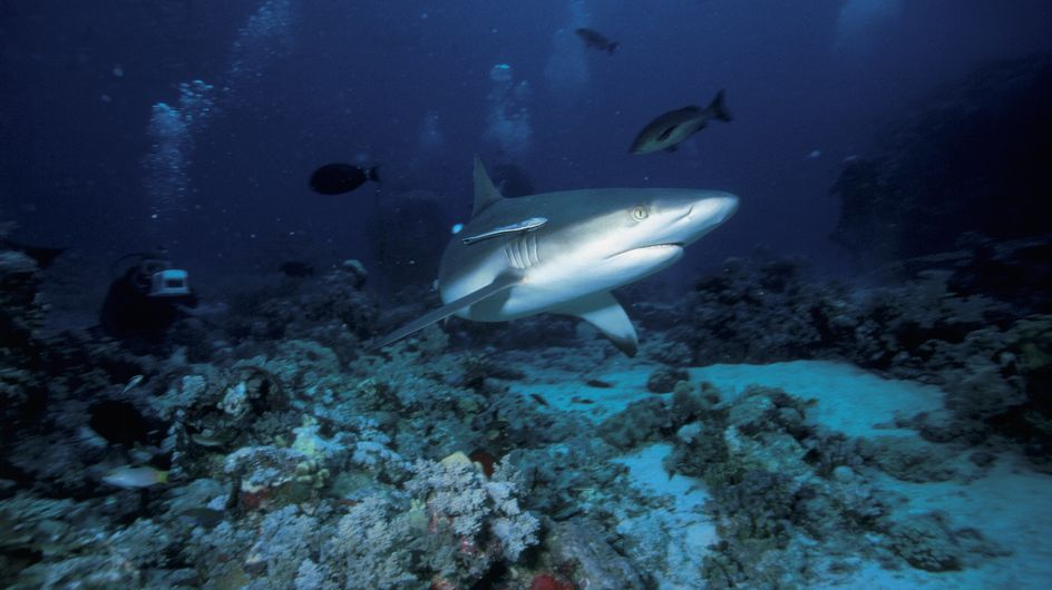 Attaques de requins : La méduse tue 10 fois plus que le squale