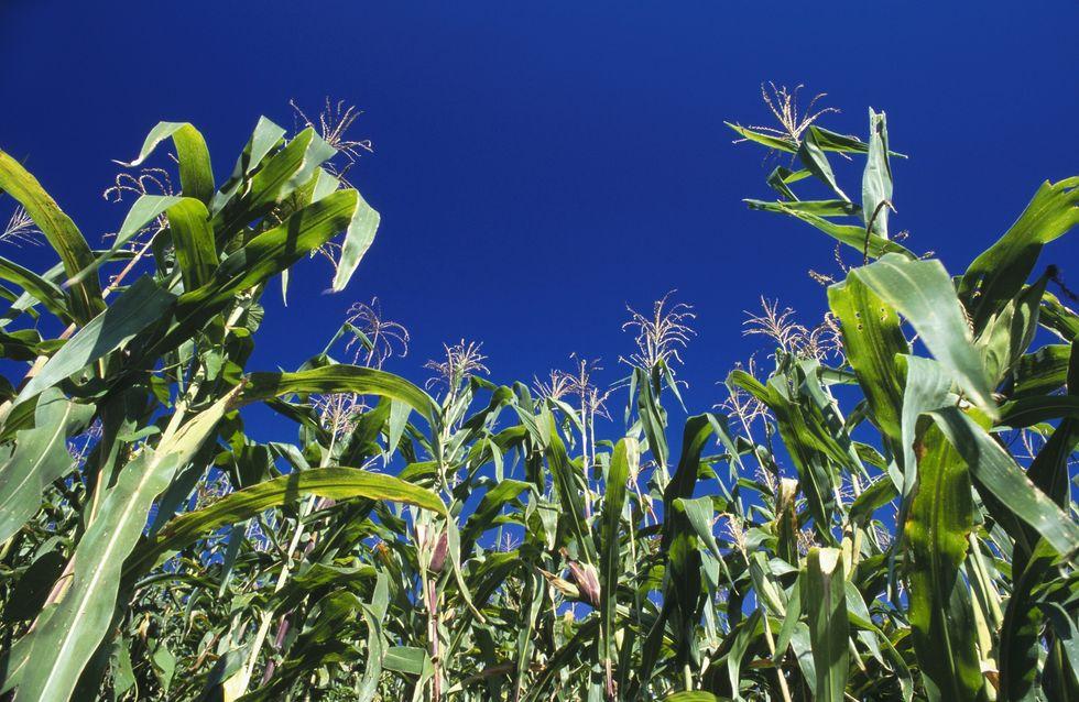 """OGM : Un """"poison"""" entraînant cancer et mort prématurée"""