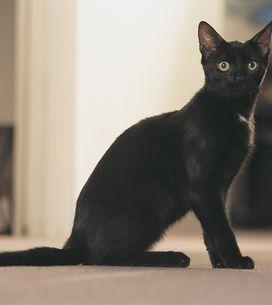 Insolite : Le lancer de chats fait polémique (Vidéo)