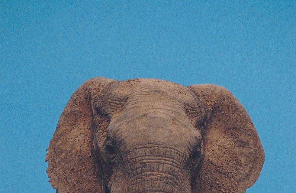 Koshik, l'éléphant qui savait parler