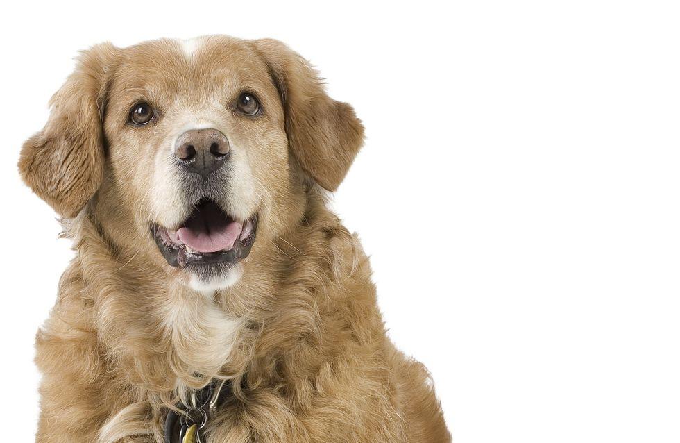 Des chiens retrouvent l'usage de leurs pattes grâce à une greffe de cellules