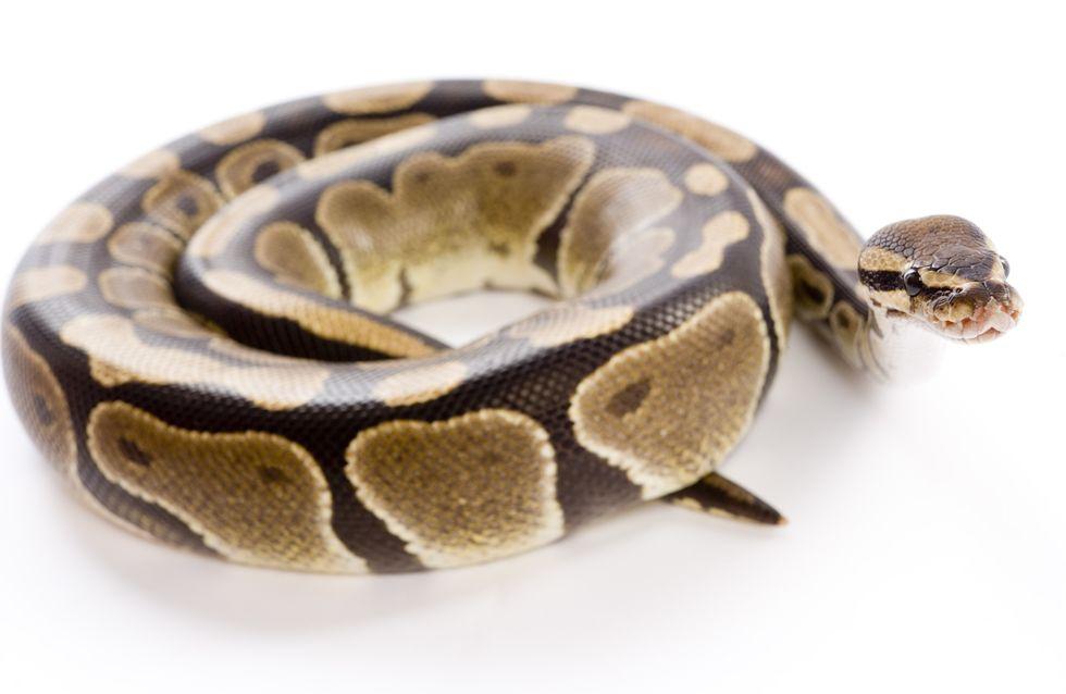 Insolite : Une maman découvre un python enroulé autour de son bébé