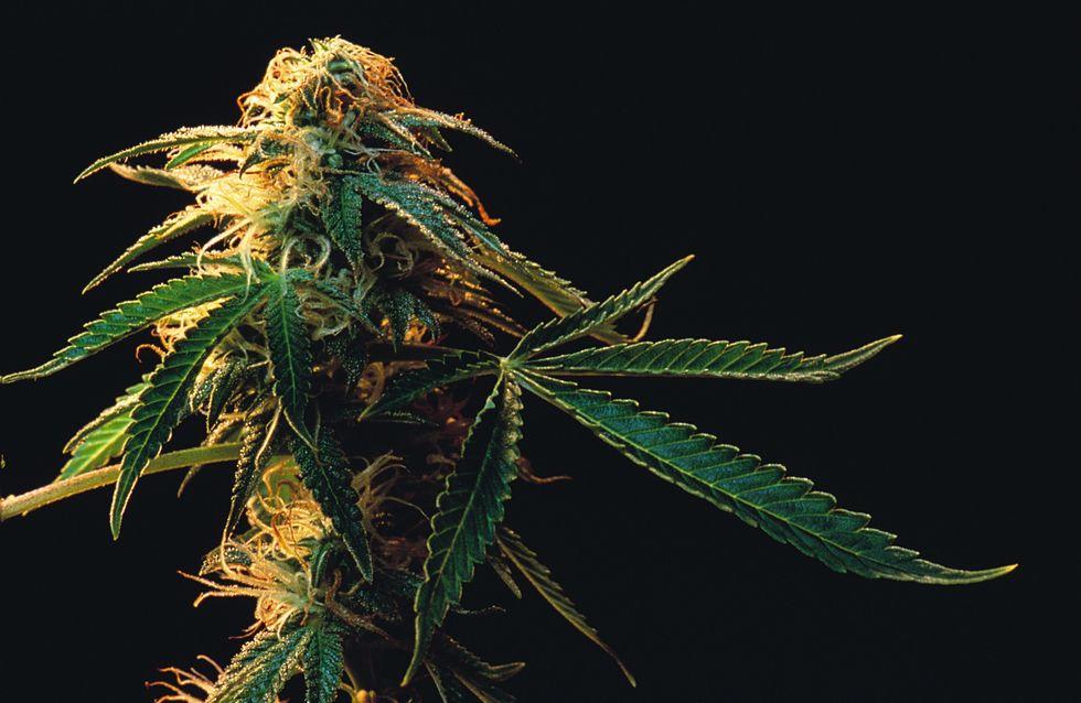 Cannabis : Une forme thérapeutique sans accoutumance ni euphories