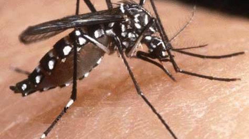 Moustique tigre : Il revient, plus virulent que jamais