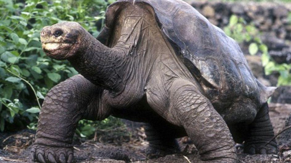 Georges le solitaire est mort, une espèce de tortue disparaît