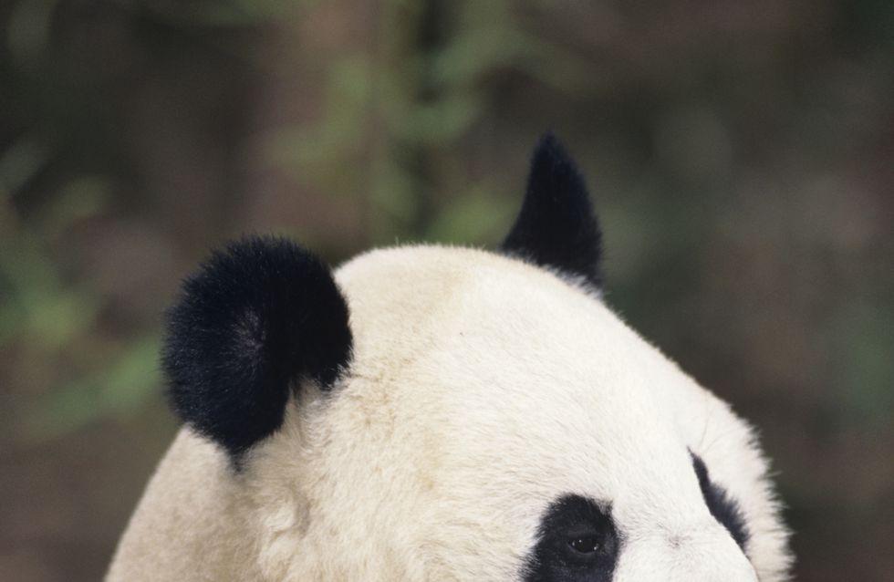 Panda géant : Du porno pour une grossesse !