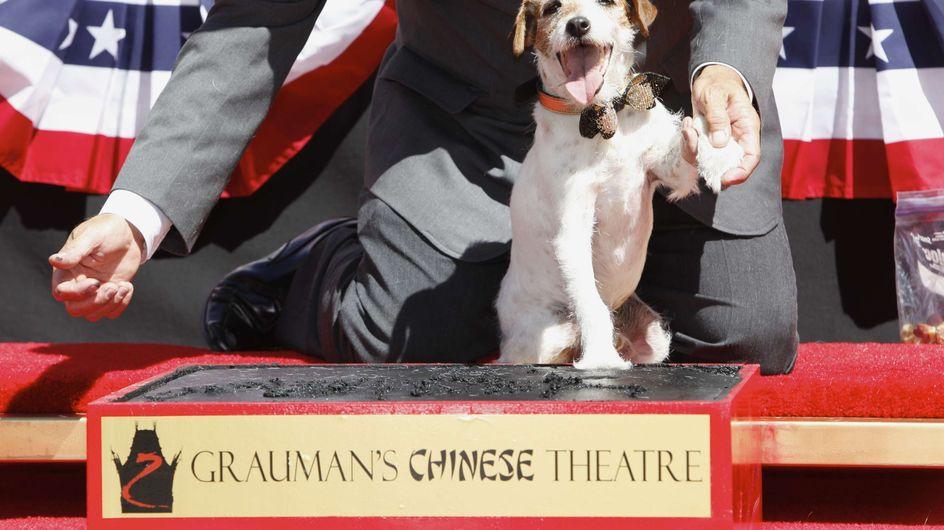 The Artist : Uggie, ses empreintes sur Hollywood Boulevard (Vidéo)