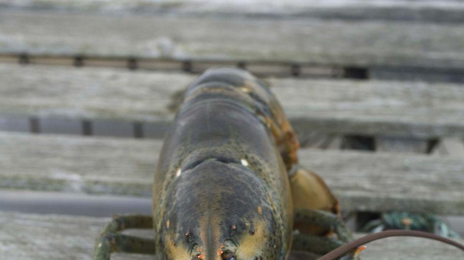 Insolite : Un couple commande des homards pour les libérer !