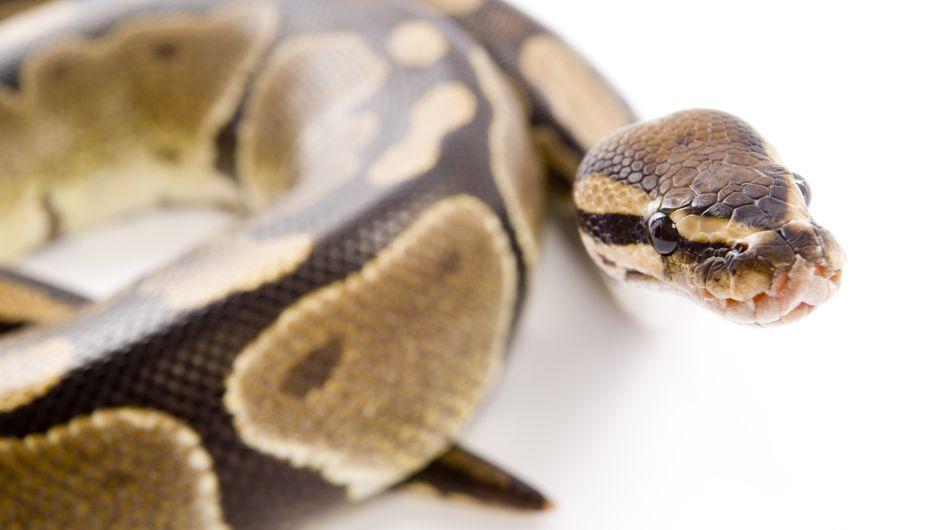 Insolite : Un python de 3 mètres et 40 kilos découvert dans la Seine