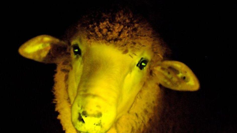 Des moutons transgéniques phosphorescents ont vu le jour