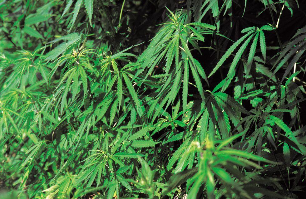 Des médicaments à base de cannabis bientôt mis sur le marché