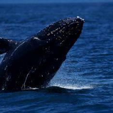Un surfeur Australien assommé par la queue d'une baleine
