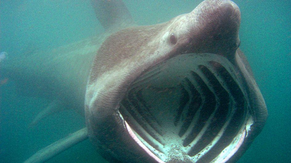 Bretagne : De nombreux requins pèlerins observés près des côtes