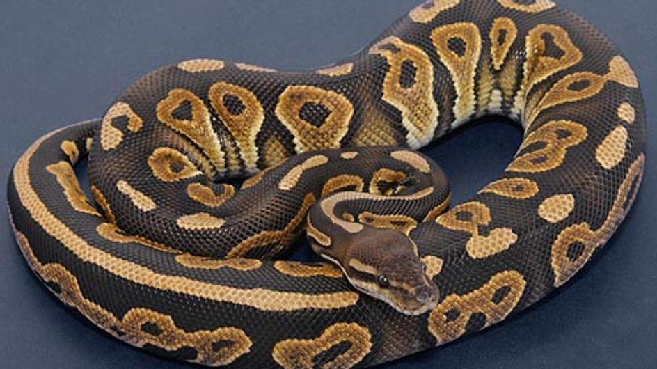Meurthe-et-Moselle : Deux pythons royaux s'échappent d'un colis postal