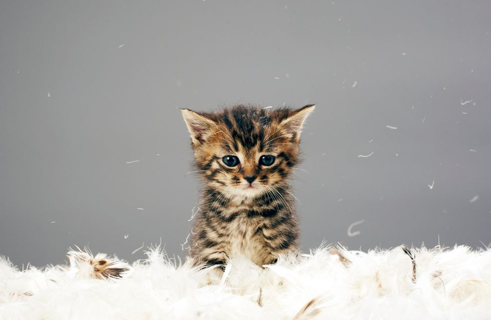 L'allergie aux chats : Enfin un traitement ?