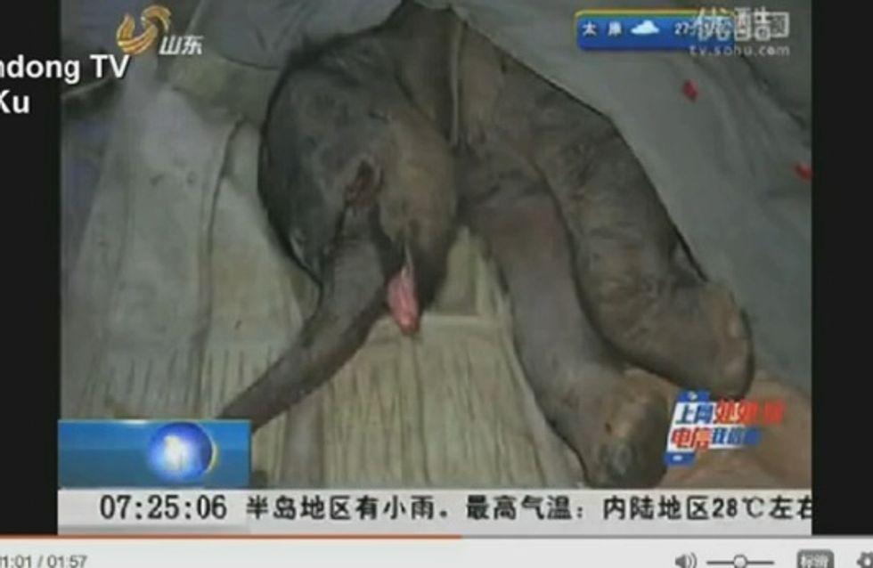 Un bébé éléphant pleure sa mère qui a tenté de le tuer (vidéo)