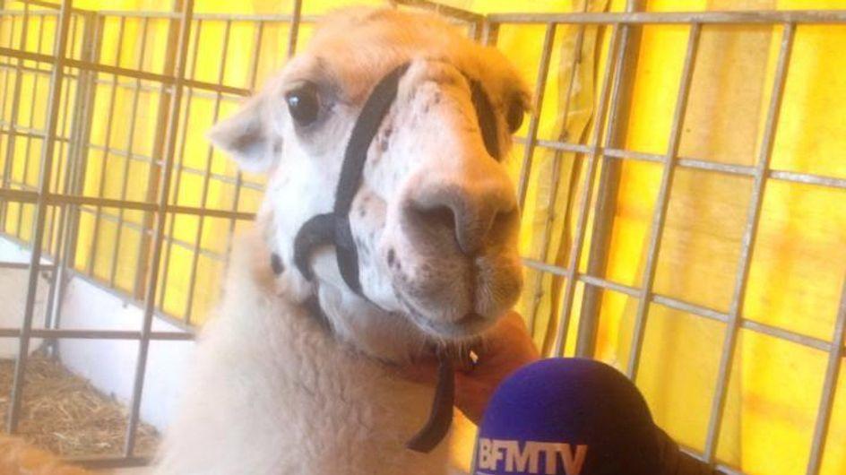Serge : Le lama devenu superstar !