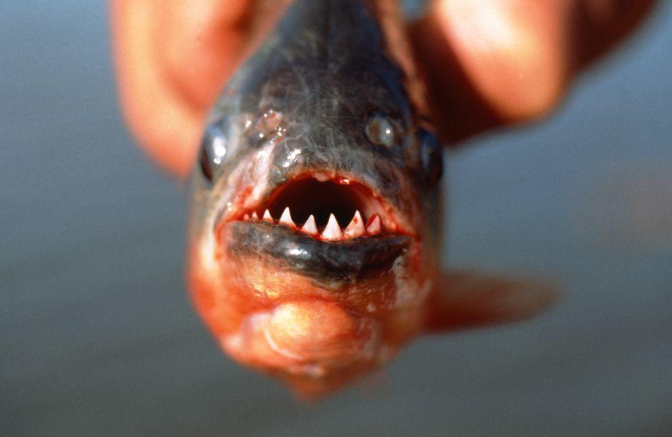 Insolite : Une attaque de piranhas fait des dizaines de blessés en Argentine