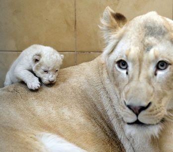 Una leona blanca da a luz a trillizos en Polonia