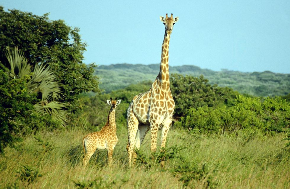 Le terrible destin de Marius, le girafon abattu au zoo de Copenhague