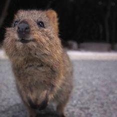 Le Quokka : L'animal que tu ne connais pas encore mais que tu vas adorer