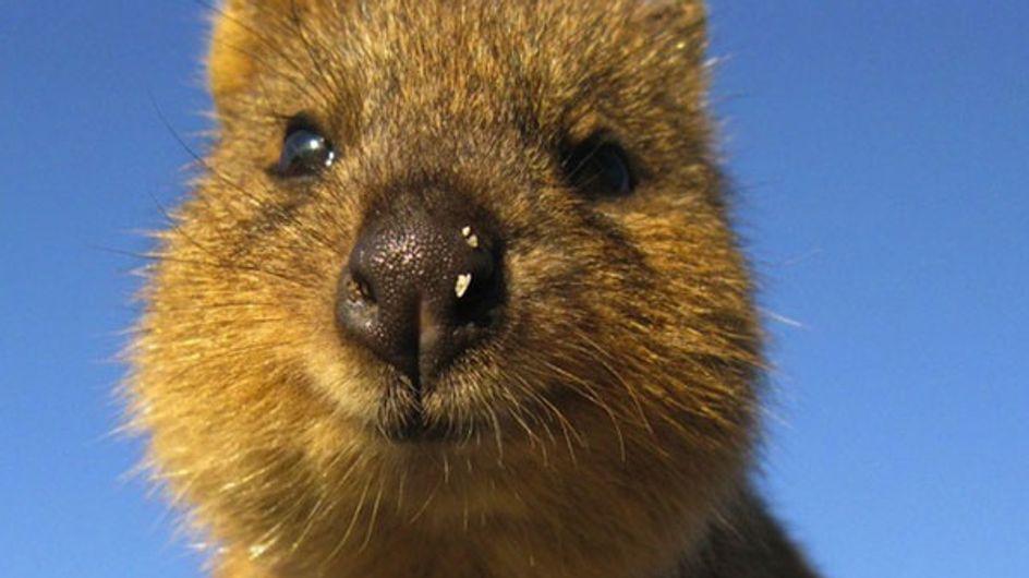 Quokka: ¿quién es este animalito tan mono?