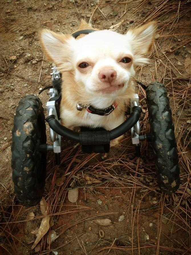 Roo il Chihuahua