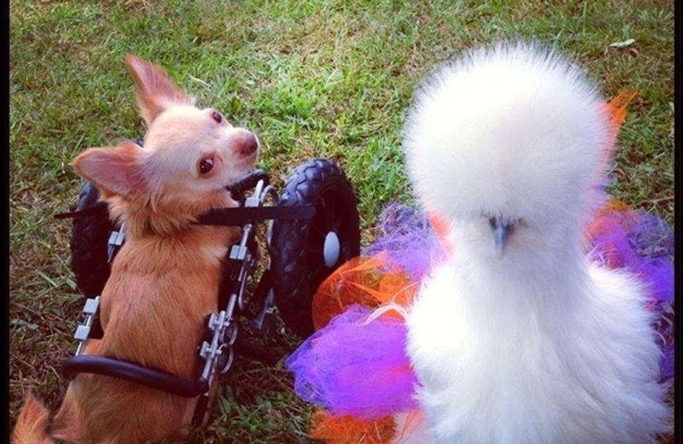 Storia di un'amicizia incredibile tra un pollo e un Chihuahua senza gli arti anteriori