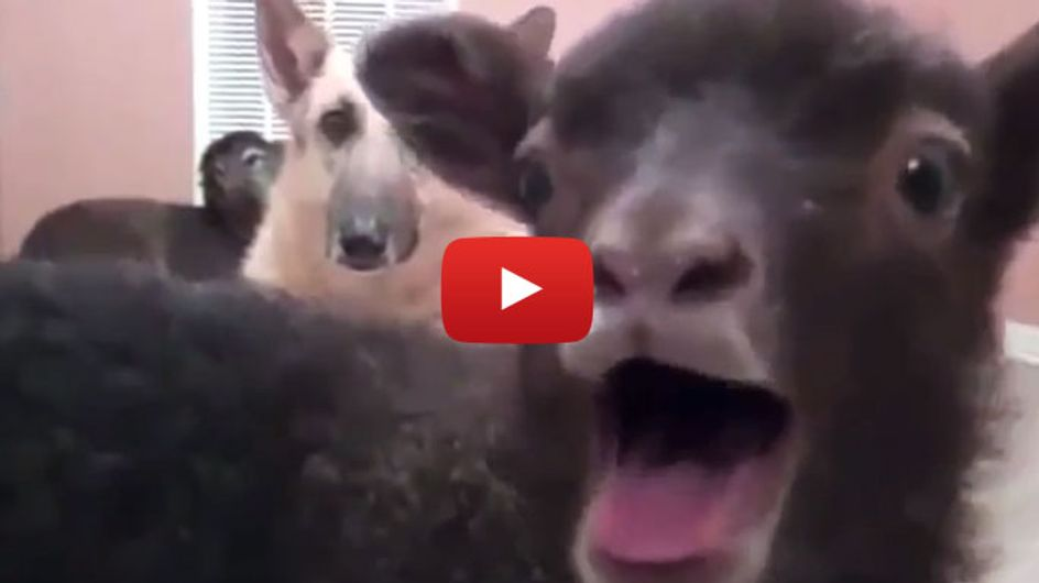 Wir haben Bauchschmerzen vor Lachen: Ziegen, die sich wie Menschen anhören...