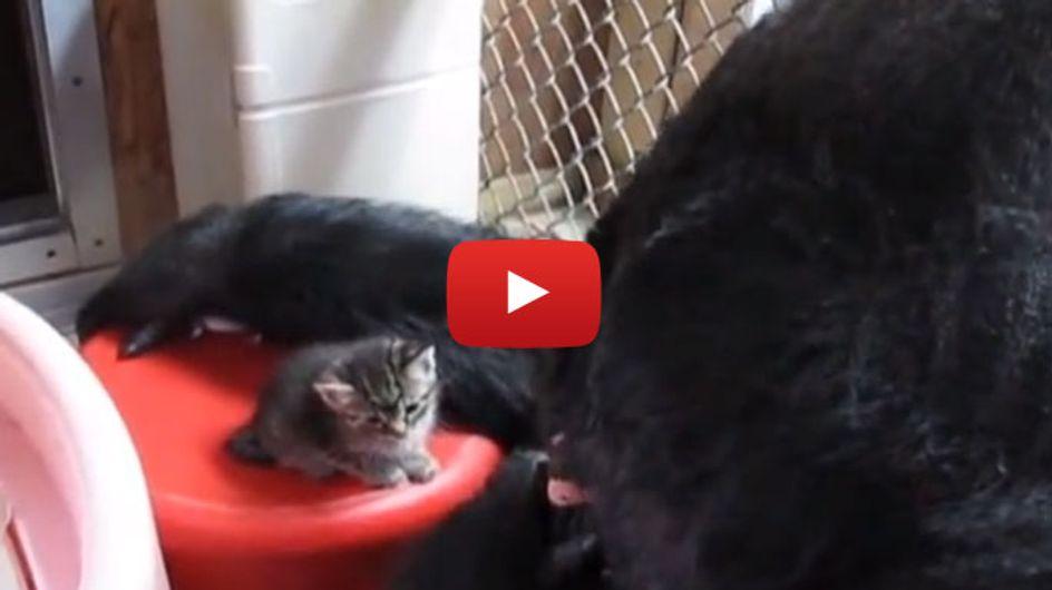 So süß! Ein Gorilla trifft auf zwei winzige Katzenbabys