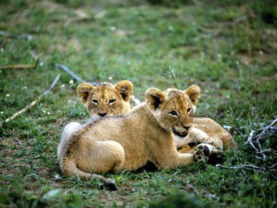 Zoo de Copenhague : 2 lionceaux tués