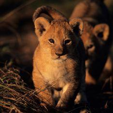Après le girafon, le zoo de Copenhague tue 2 lionceaux