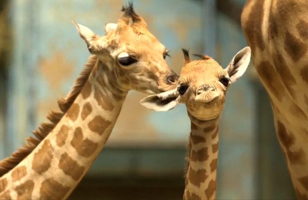 Le (tout nouveau) zoo de Vincennes comme si vous y étiez ! (vidéos)